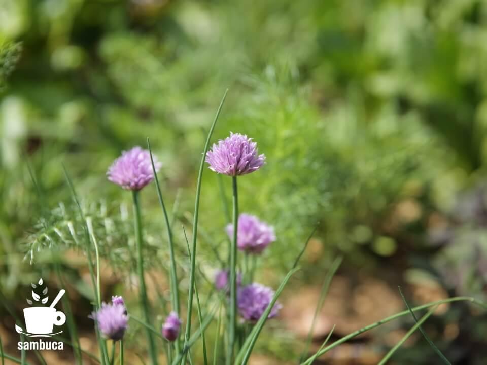 チャイブの花