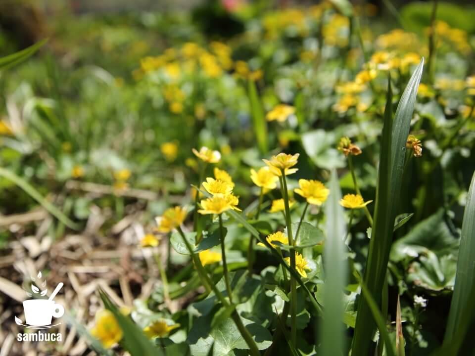 リュウキンカの花