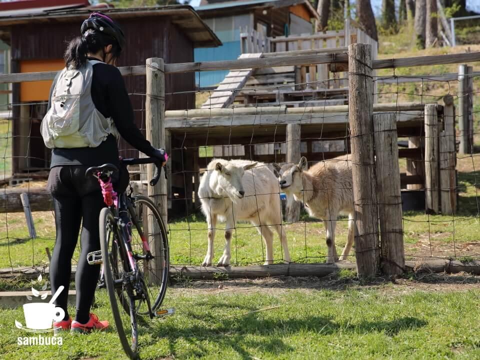 「農園カフェ ラビット」のヤギ