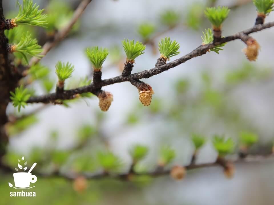 カラマツの芽吹きと雄花