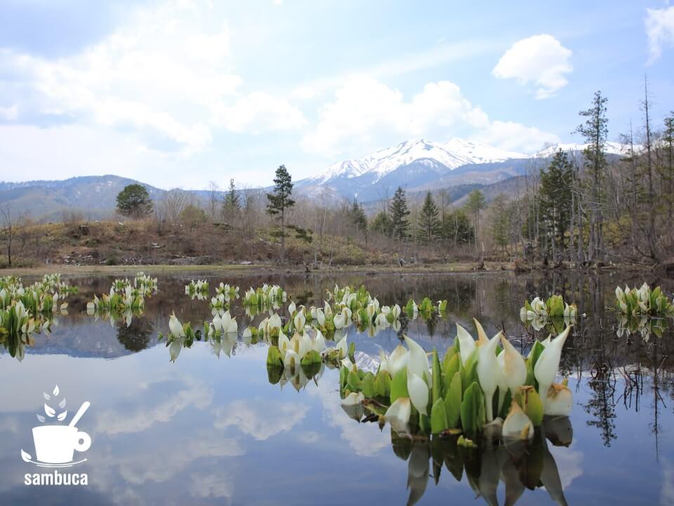 どじょう池のミズバショウ(池の向こうに乗鞍岳)