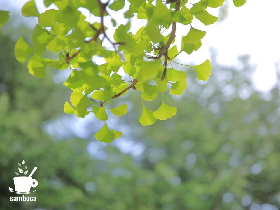 イチョウの新緑