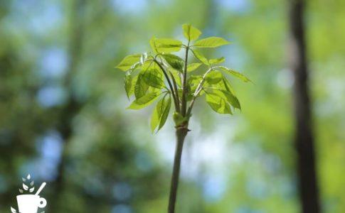 コシアブラの若芽