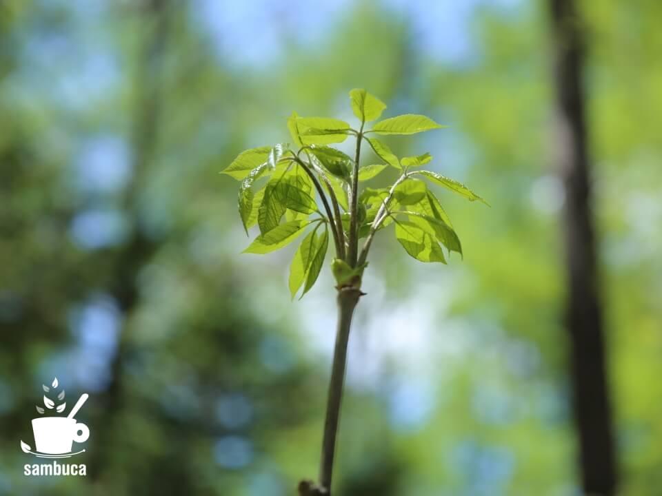 コシアブラの新緑