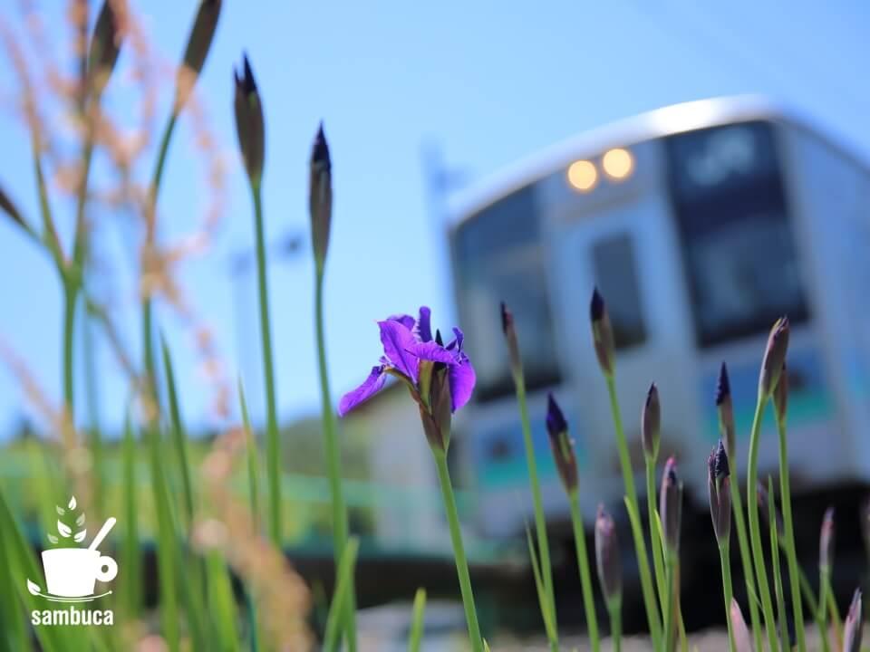 稲生駅の横のアヤメ