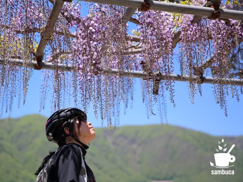 フジ(藤)の花が咲いています