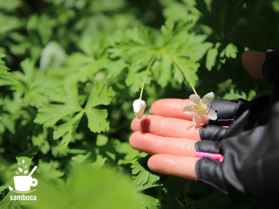 ニリンソウが咲いています