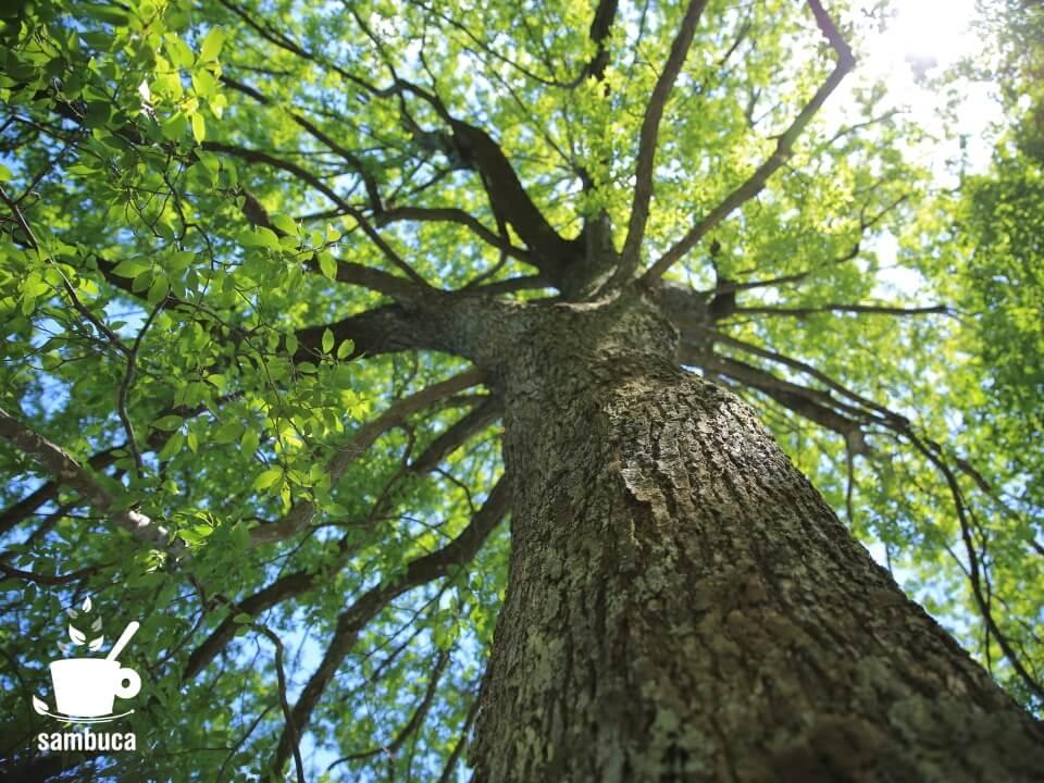 石のベンチの横にはハンノキの大木が