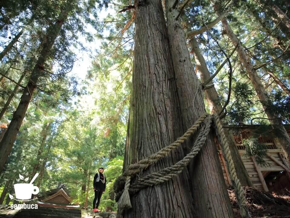 海ノ口上諏訪神社のスギの大木