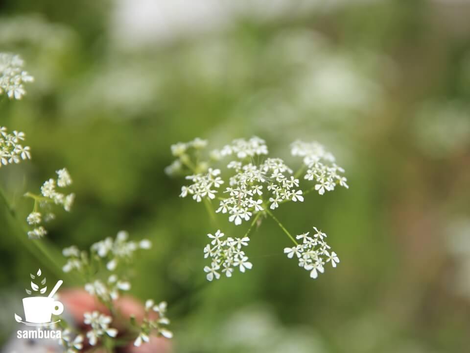 シャクの花