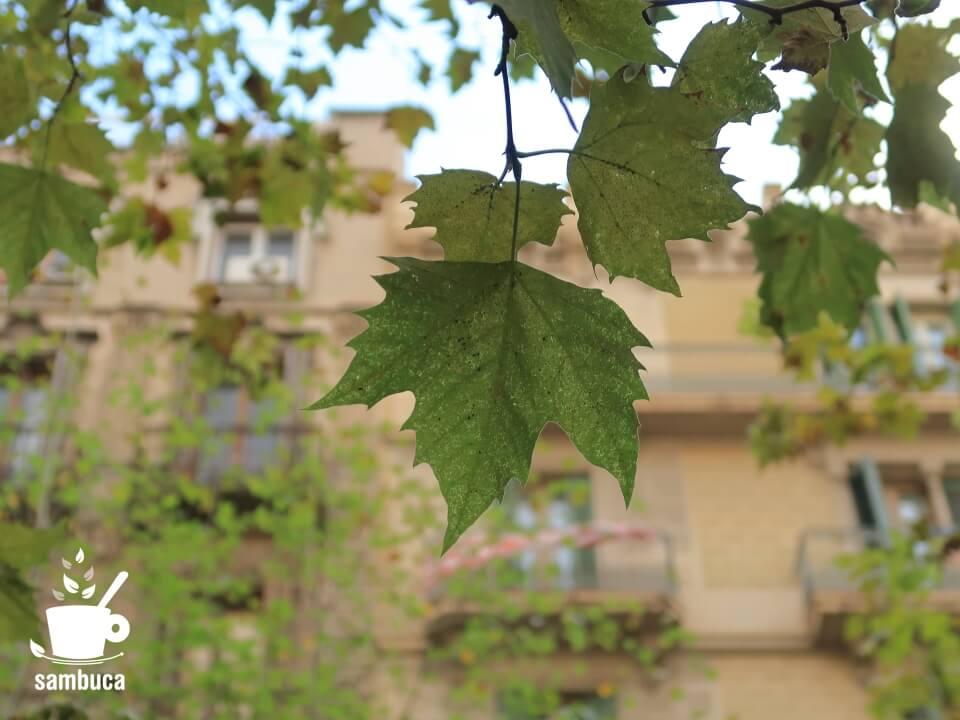 バルセロナのプラタナス