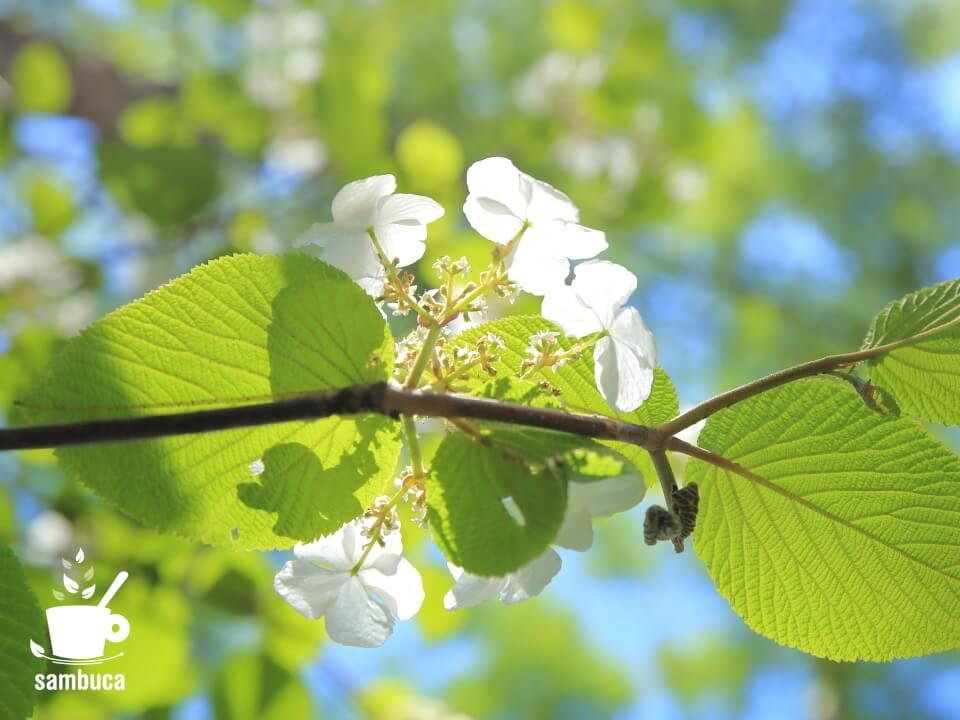 オオカメノキの白い花