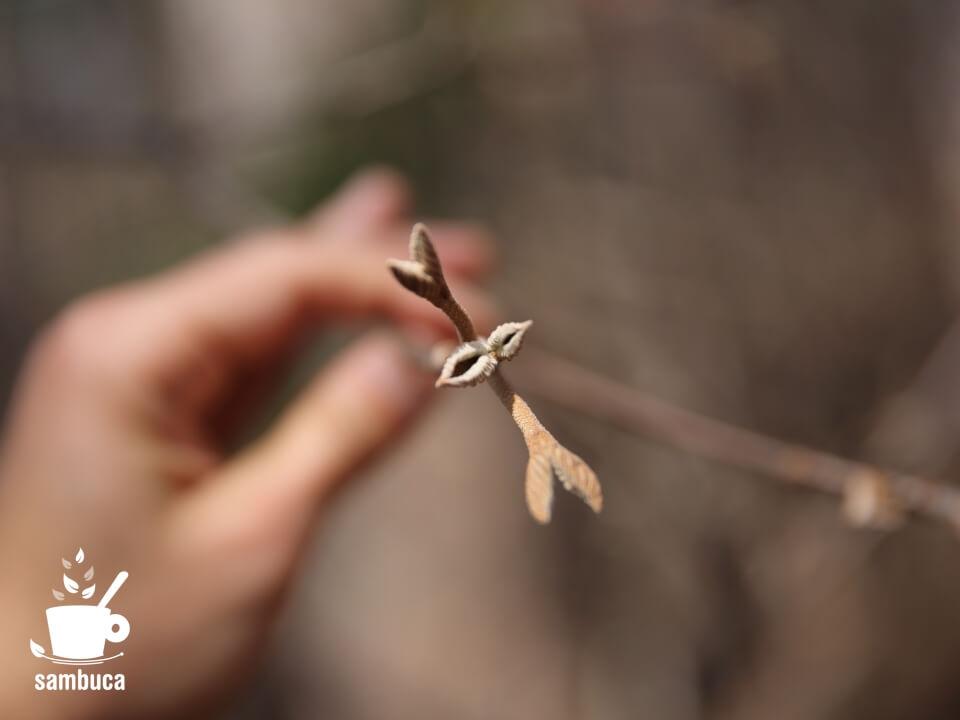 葉になる直前のオオカメノキの冬芽