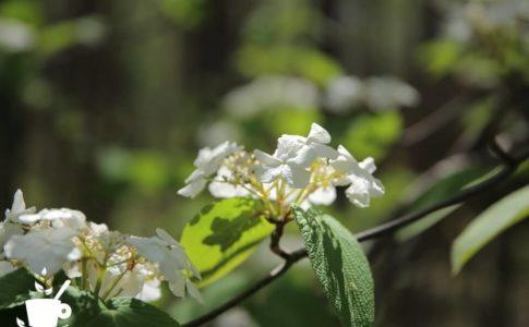 オオカメノキ(ムシカリ)の花