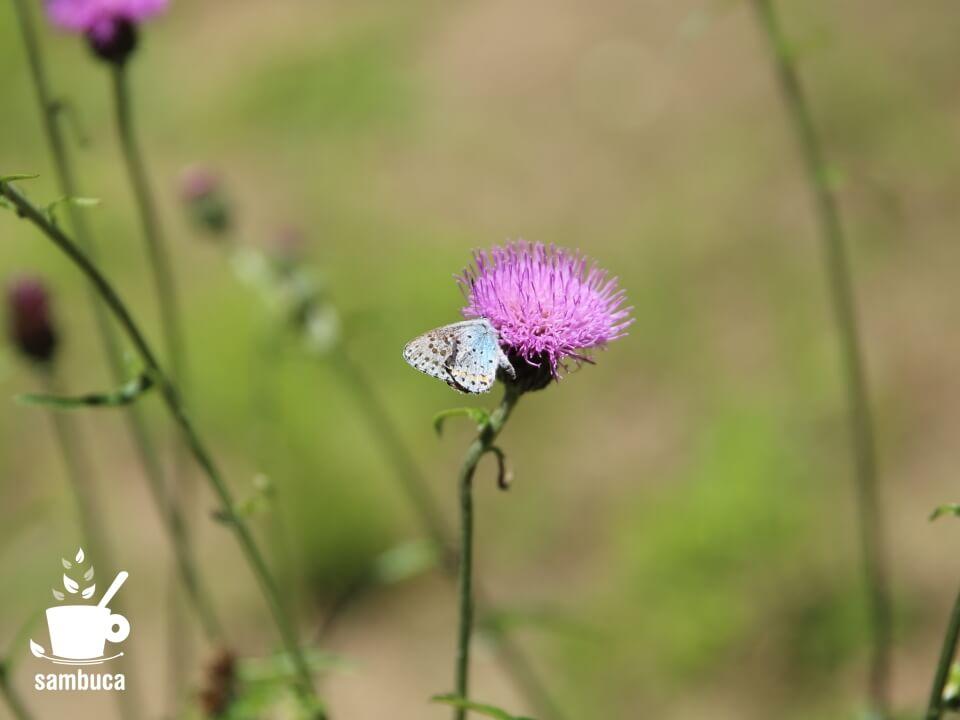 オオルリシジミとアザミの花