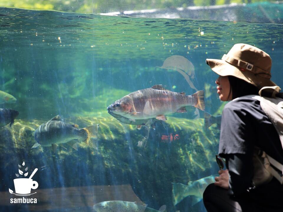 ニジマスや信州サーモン等の水槽展示