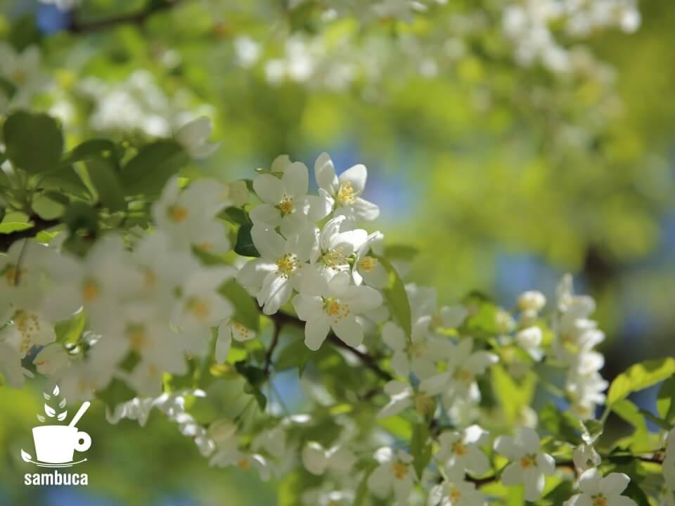 ズミ(コナシ)の花