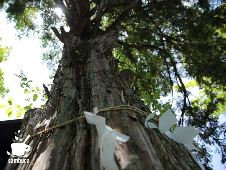 群馬県側の御神木・イチイの木