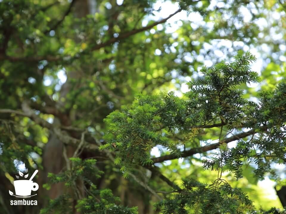 イチイの木の葉先には新芽が