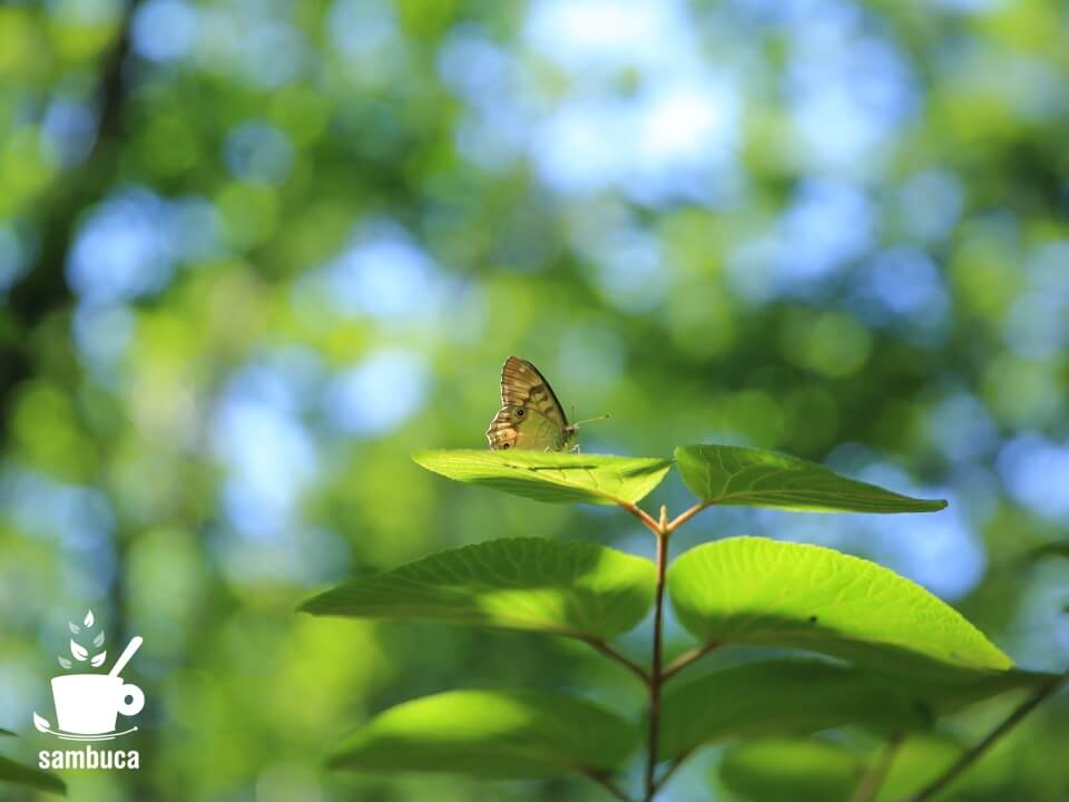 オオカメノキの葉の上に蝶々が