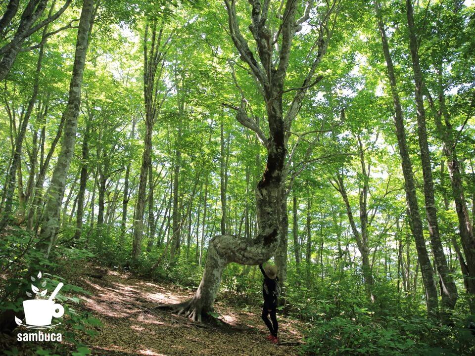 ねずこの森の「うまブナ」