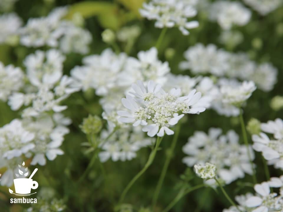 オルレア(オルラヤ)の花
