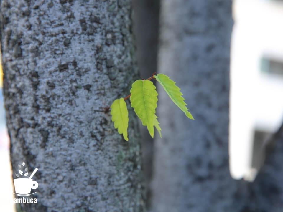 ケヤキの葉と樹皮