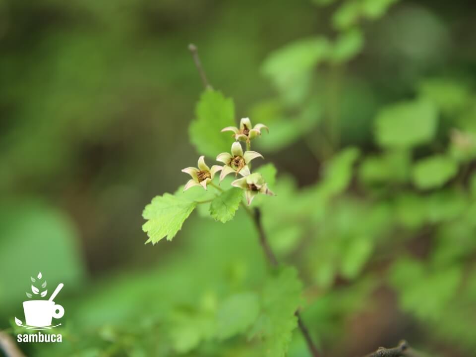 ナワシロイチゴの花が散った後