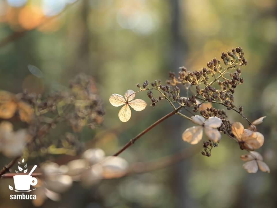 秋のノリウツギ