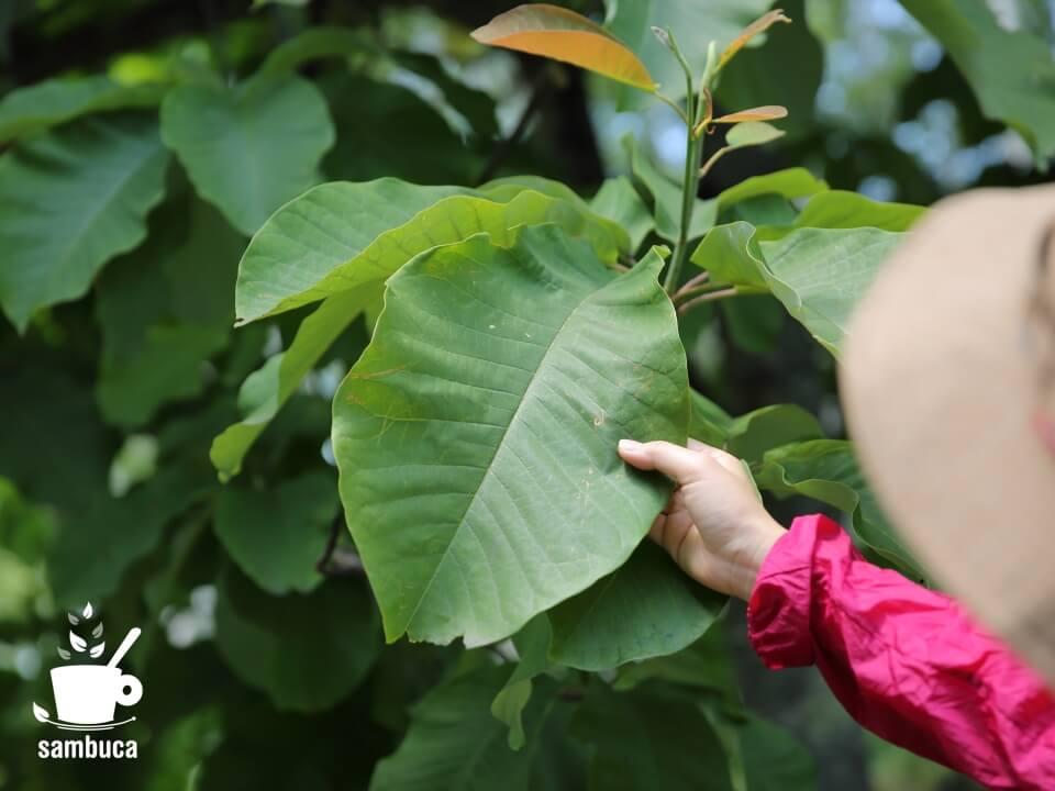 朴葉(ホオノキの葉)