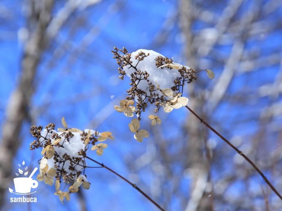 雪を被ったノリウツギ