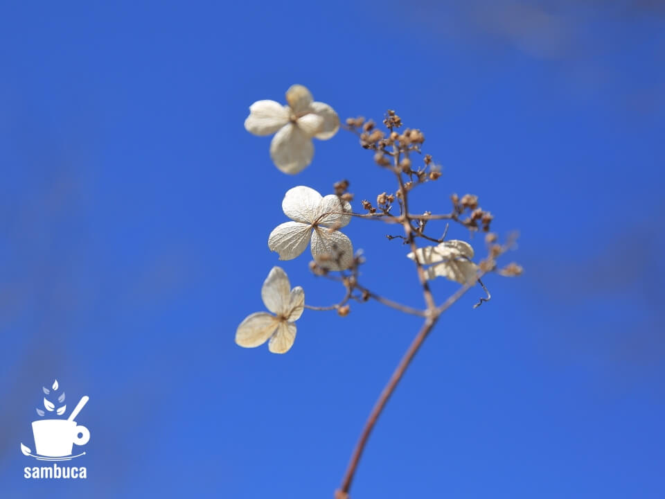 色が抜けたノリウツギの装飾花