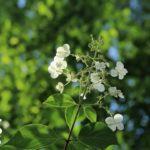 夏に咲く、ノリウツギの白い花