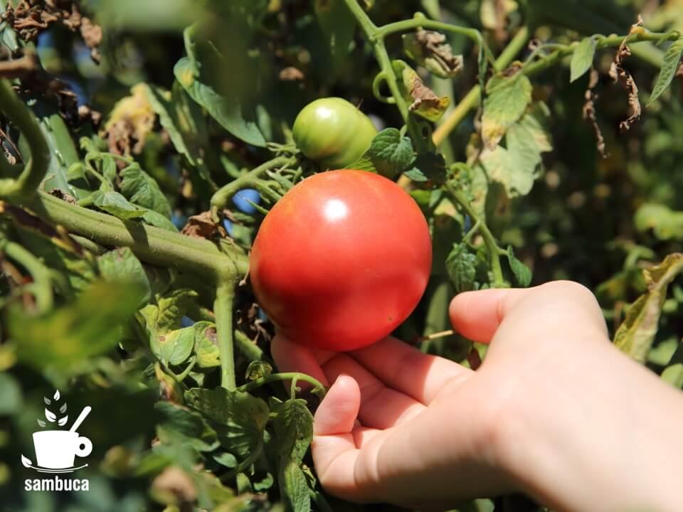 生食用のトマト