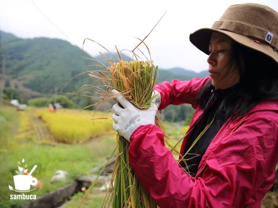 刈った稲をワラで結束