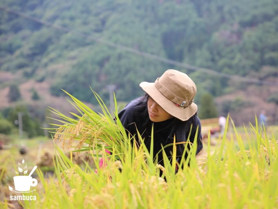 四賀地区で稲刈り体験
