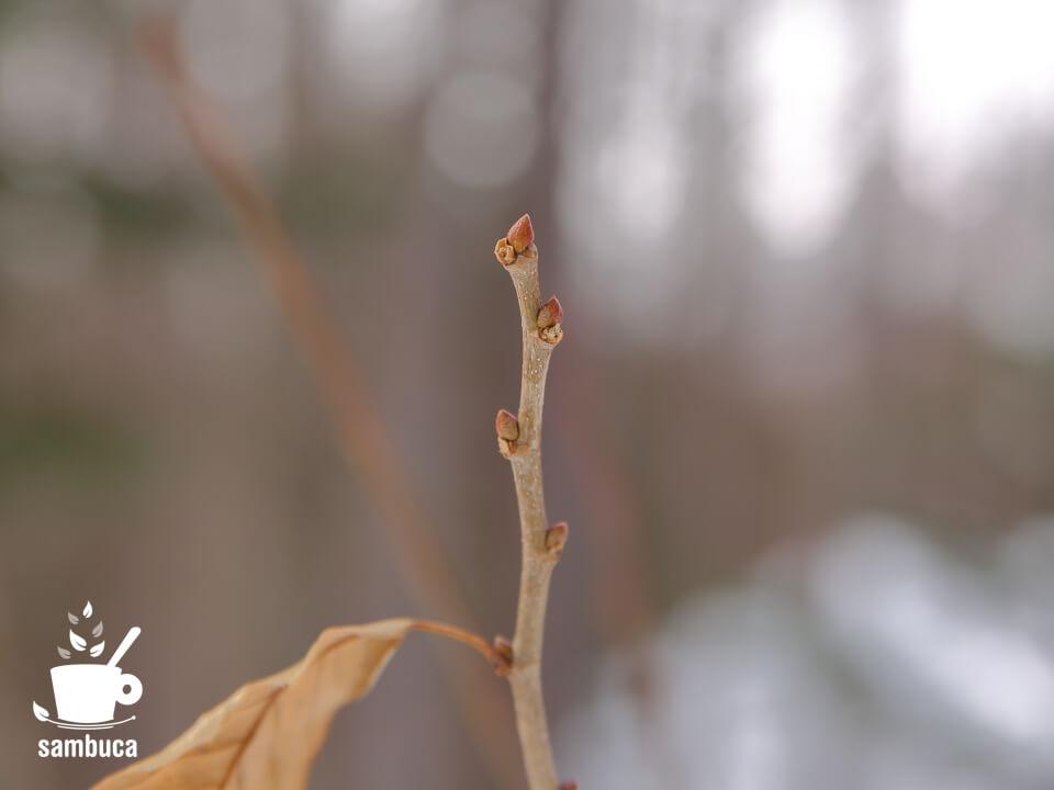 クリの冬芽