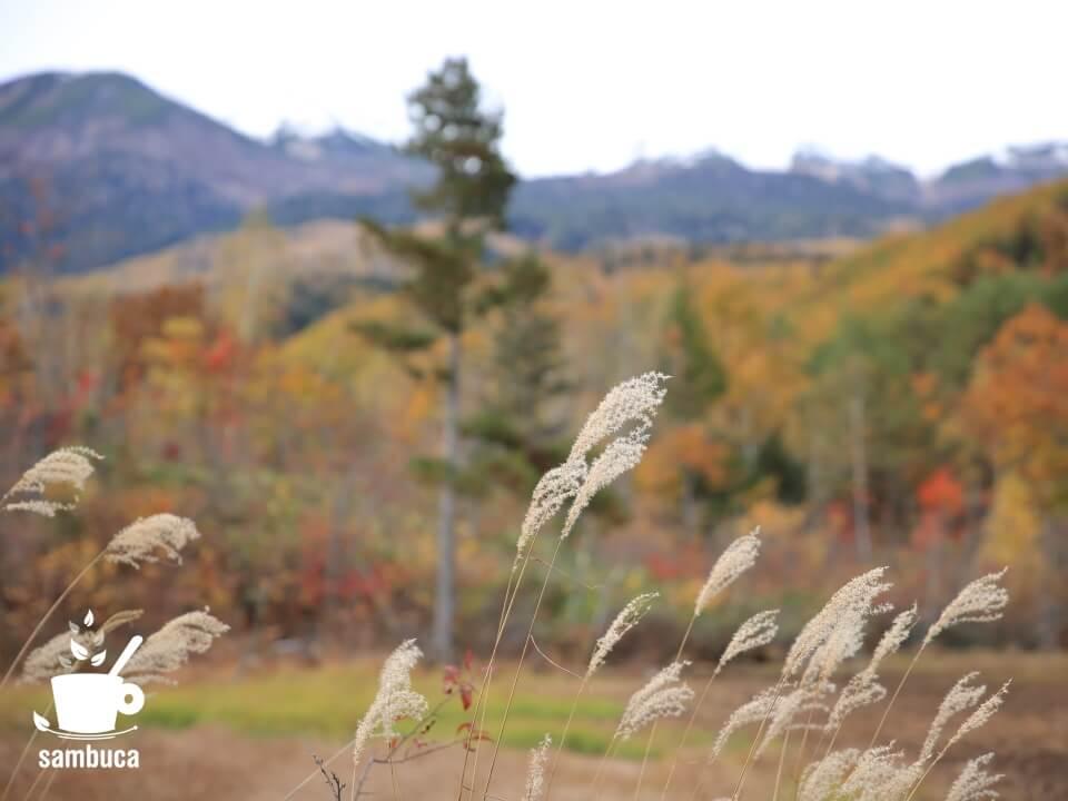 ススキ、黄葉した山を背景に