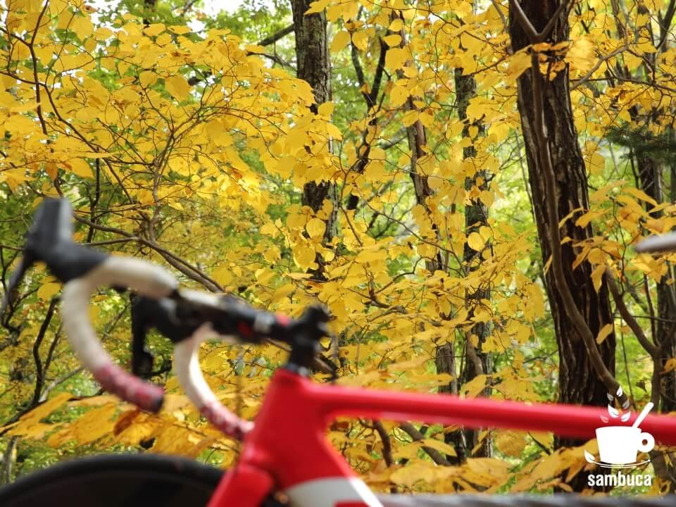 ダンコウバイの黄葉