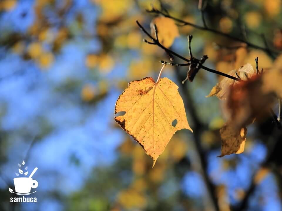 ウリハダカエデの黄葉