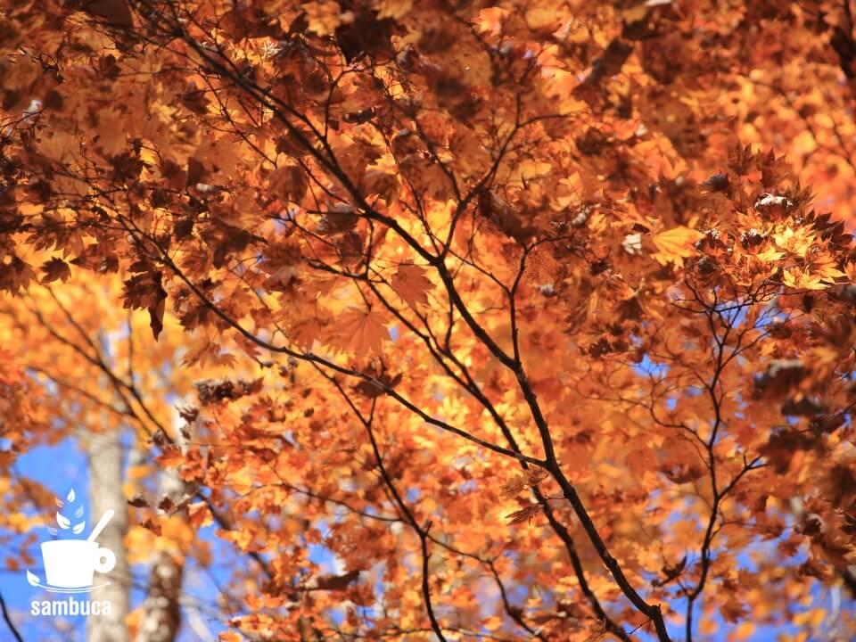 コハウチワカエデの紅葉