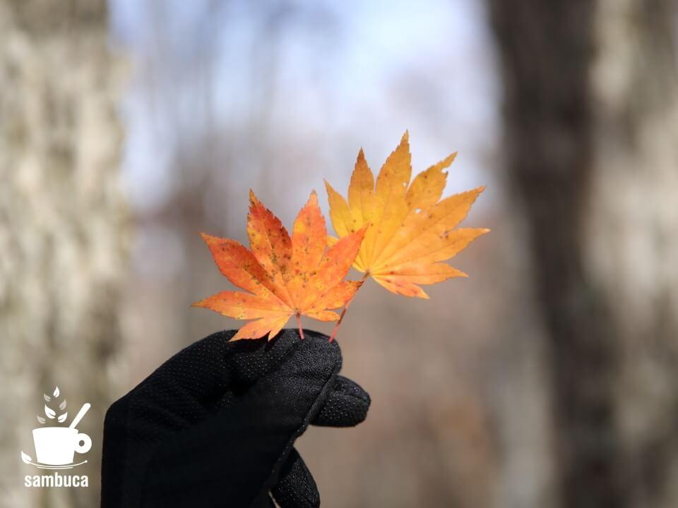 カエデの紅葉のグラデーション