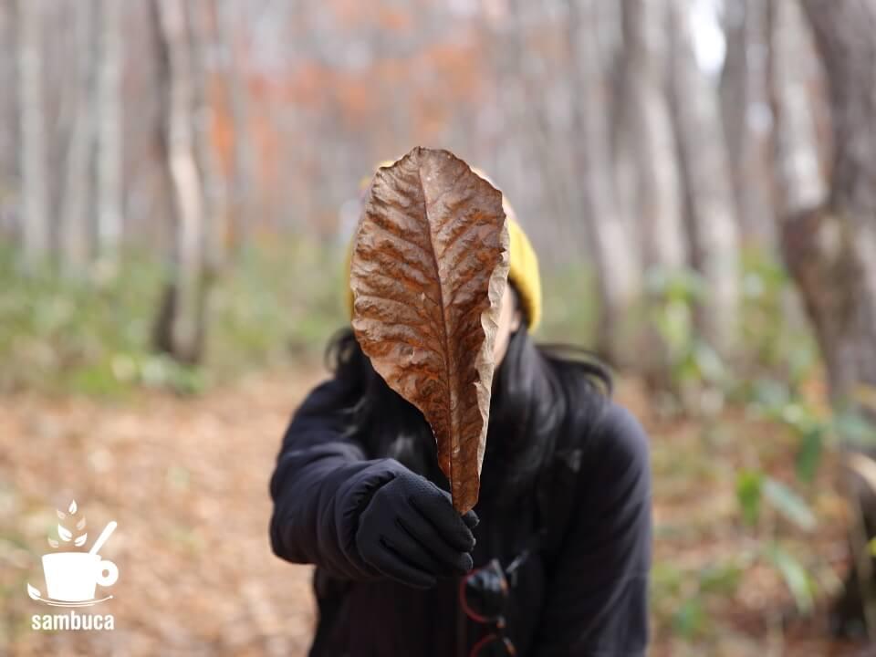 ホオノキの葉(朴葉)