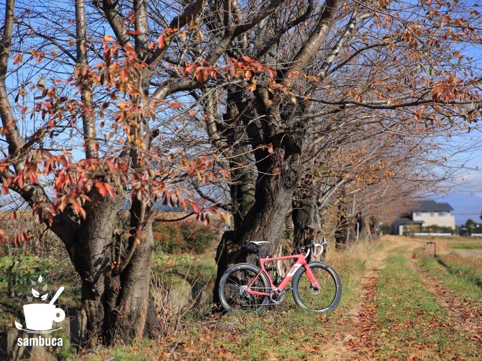 桜並木の桜紅葉