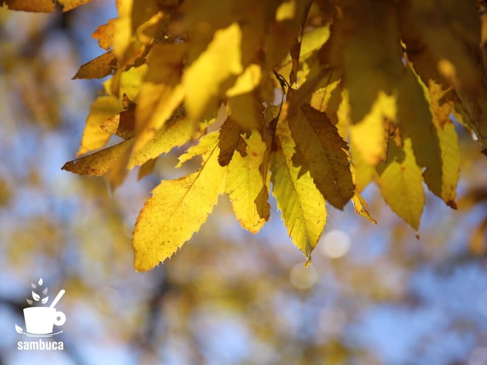 クヌギの黄葉