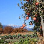 信州リンゴと北アルプス