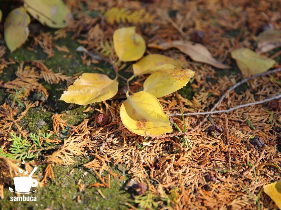 ヒノキの落ち葉と実の上にエノキ