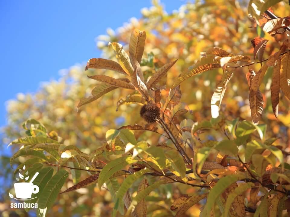 黄葉したクリの葉