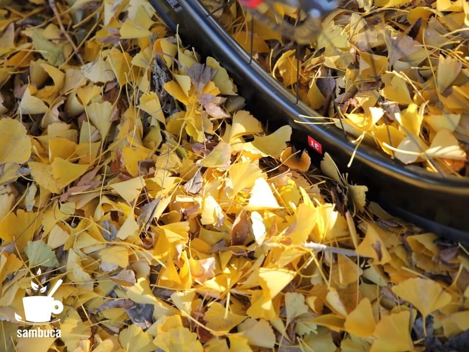 フカフカのイチョウの落ち葉