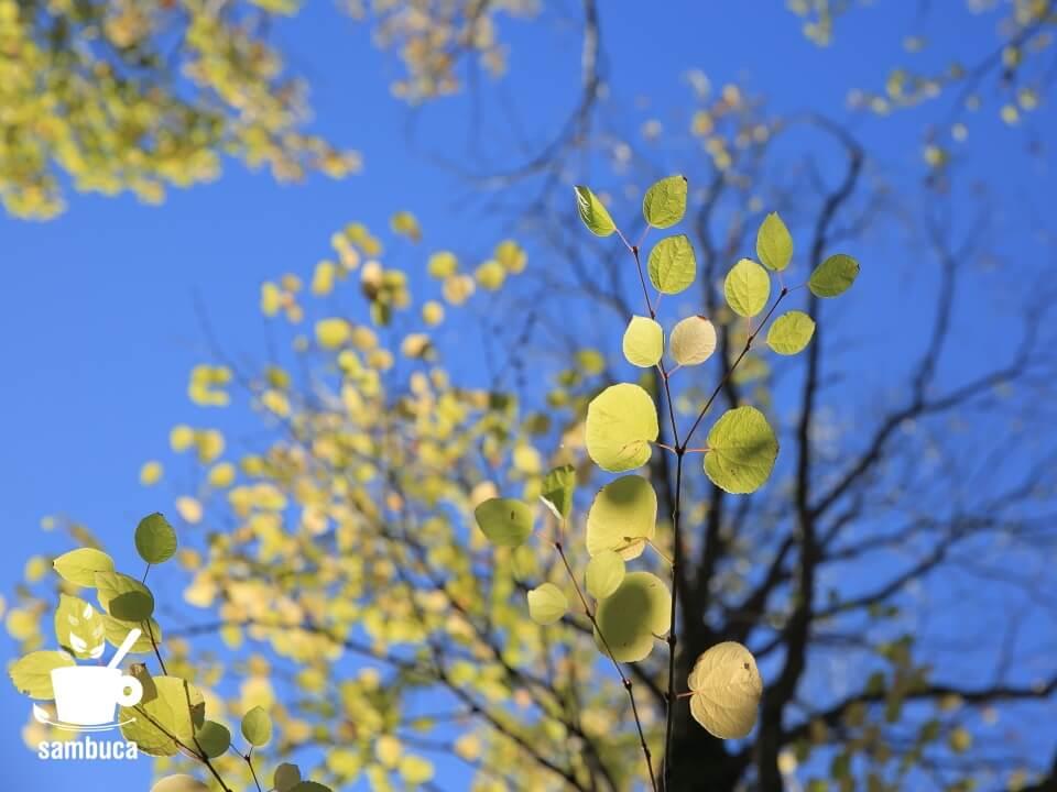 カツラの木の黄葉
